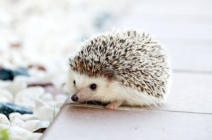 Nuzzel hedgehog